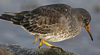 Bakgrunn: Ukens fugl: Fjæreplytt