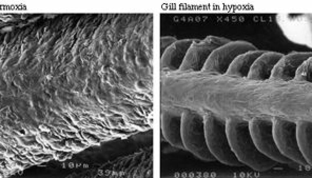 """""""Et fotografi tatt med elektronmikroskop viser gjeller før og etter de har blitt utsatt for anoksiske forhold."""""""