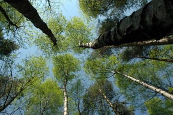 Trærne børster borti hverandres topper, og friksjonen gjør at man kan si at trærne klipper håret på hverandre. Her fra en bjørkeskog i Frogn. (Foto: Lars Sandved Dalen)