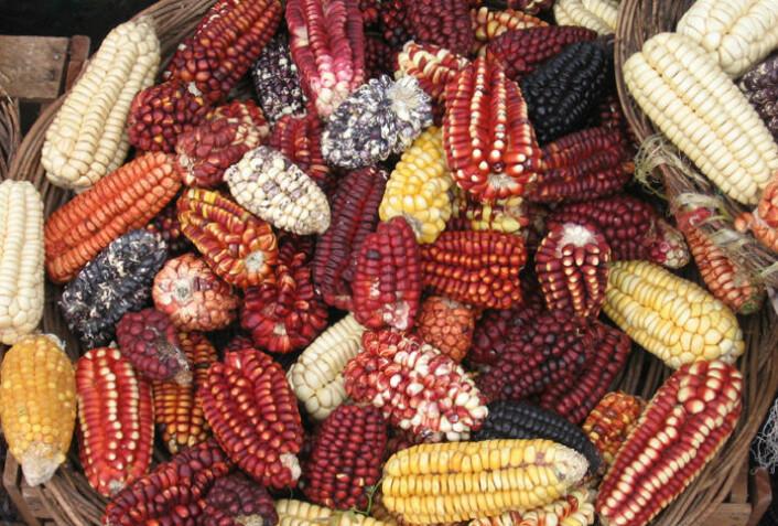 Mais fra Peru. Arkeologiske funn viser at mais ble dyrket i Peru allerede for 5000 år siden og la grunnlaget for den eldste kjente sivilisasjonen i landet. (Foto: iStockphoto)