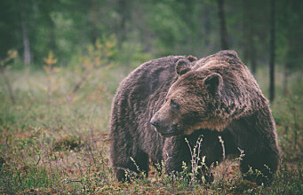 Scandinavian and Finnish brown bears not isolated as previously assumed