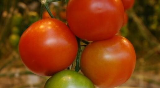 Sollys betyr lite for tomatsmak