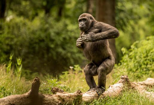 Gorillaer slår seg på brystet for å tøffe seg. Men det er også for å slippe farlige slåsskamper
