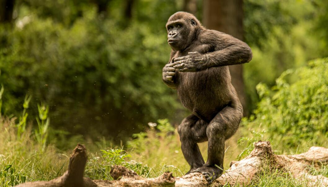 Får du noen ganger lyst til å slå deg på brystet? Neivel. Men det får gorillaer. Nå vet forskere mer om hvorfor de gjør det..
