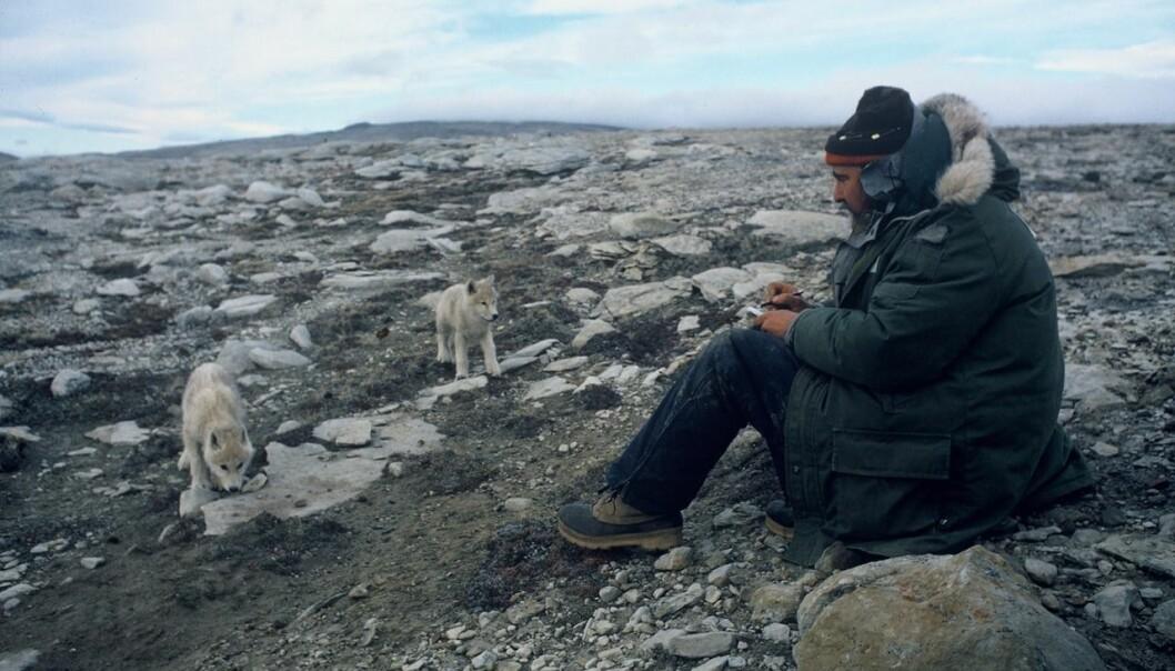 David Mech brukte mye tid på å studere dagliglivet i ulveflokken.