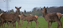 Eksplosiv vekst av hjort i Norge gir skrantne dyr og oppspiste hager