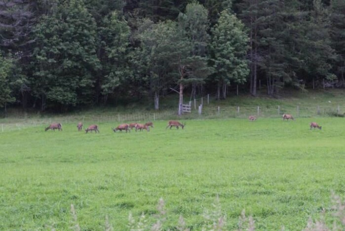 Hjorten samler seg gjerne i store flokker for å beite på innmark.