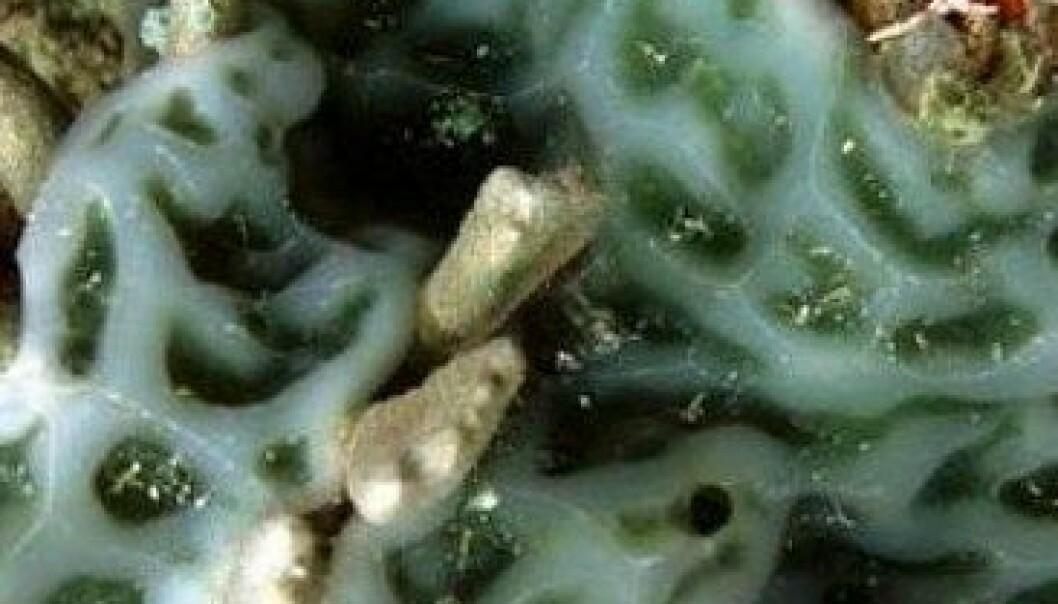 Britiske og skotske forskere mener de kan lage bedre datachiper ved å bruke molekyler fra blant annet denne sjøpungen, av arten Lissoclinum patella. Encyclopedia of Life