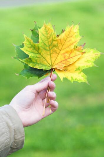 Sammenhengen mellom tre- og bladstørrelse er ifølge det nye studien knyttet til sukkertransport i treet. (Foto: Colourbox)