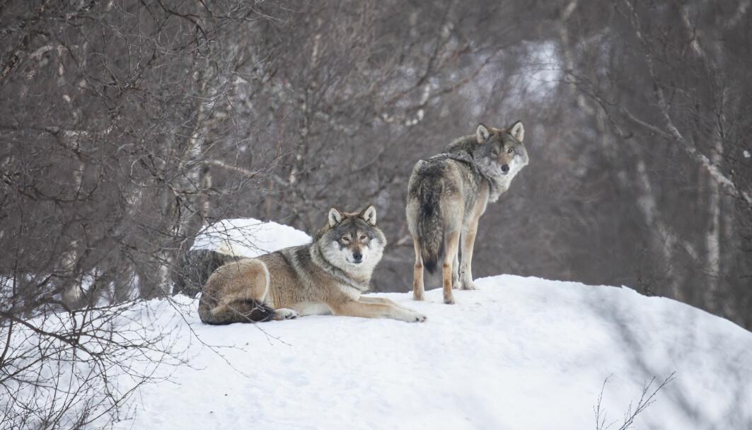 Et ulvepar er som regel ikke langt unna hverandre.