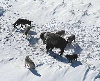 En ulveflokk i Yellowstone har omringet en bison.