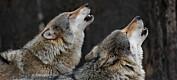Du har kanskje hørt om alfahannen og alfahunnen i en ulveflokk? Begrepet er basert på en misforståelse, ifølge eksperter