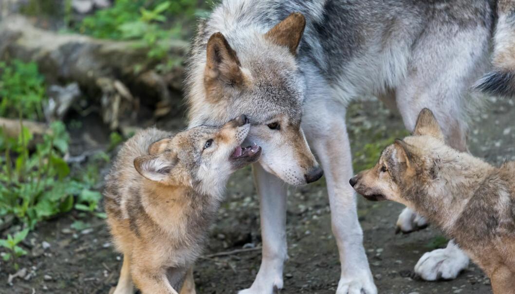 Mor og valper i Canada.