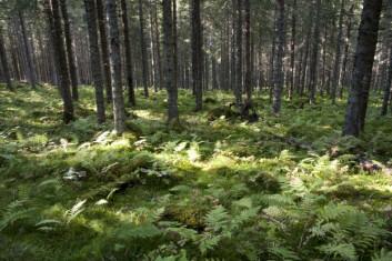 Tette trekroner blir som en flaskehals som struper tilgangen til sollyset for vegetasjonen på bakken. Åpnes flaskehalsen, for eksempel ved tynning, øker biomangfoldet av karplanter og lav betraktelig. Her fra et tynningsforsøk i Rør- og Langvann forsøksfelt i Nord-Trøndelag. (Foto: Lars Sandved Dalen)