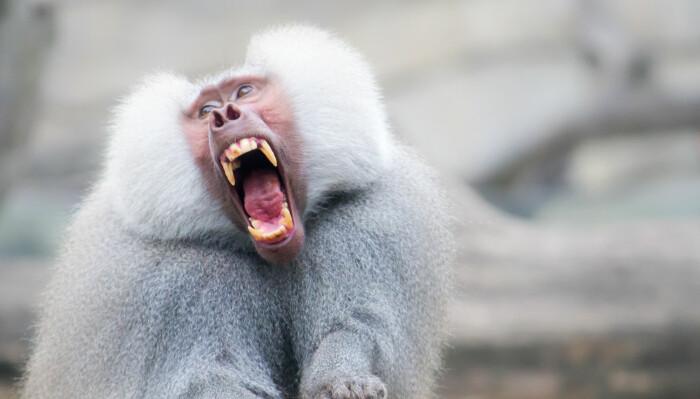 Når dyr brøler, skriker og roper er det som oftest for å utrykke fare, mener forskerne bak denne studien. Mennesket kan skrike for å utrykke flere positive følelser, og hjernene våre er gode på å plukke opp disse skrikene. Her ser du en bavian som skriker.