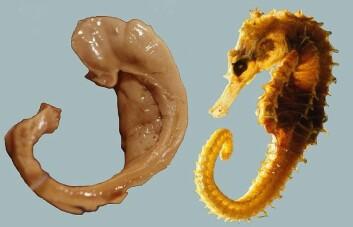Hjernedelen hippokampus har fått navnet sitt etter sjøhesten. Her er det lett å se hvorfor. (Foto: Laszlo Seress/Wikimedia Commons)