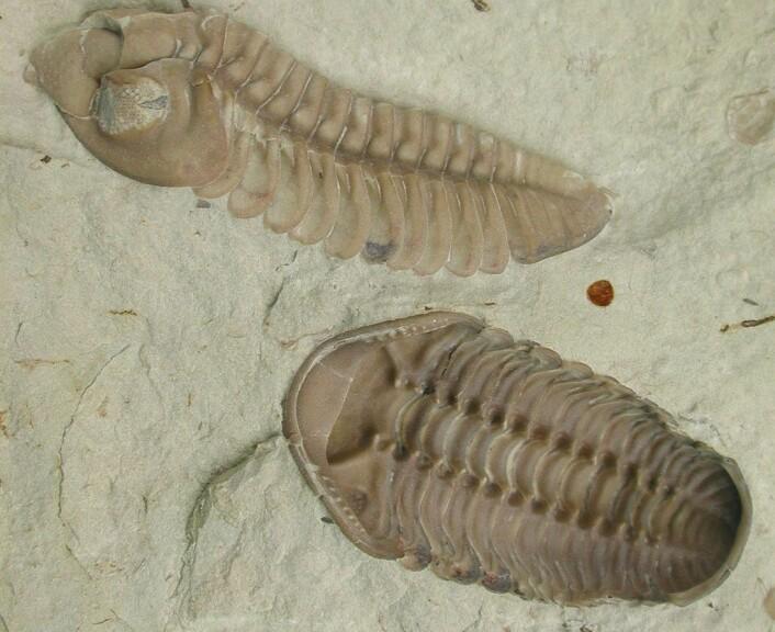 Trilobittene er blant dyrene som forsvant i denne masseutryddelsen i havet.