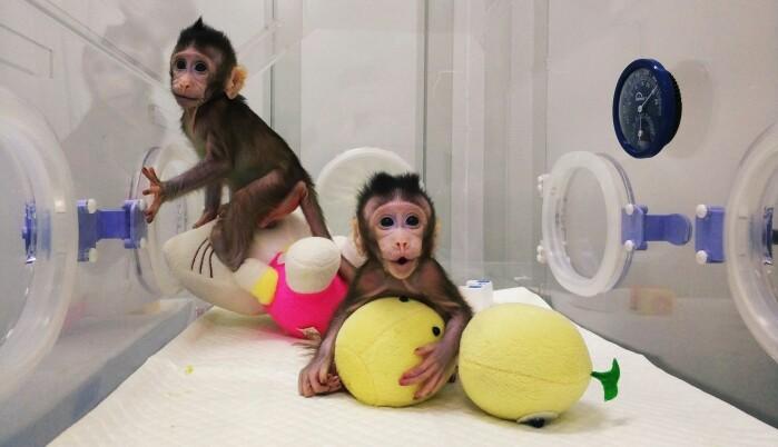Cellene i forsøket kommer fra en type aper som kalles makaker. Slike aper blir forsket mye på i noen land. Disse makakene har blitt klonet av forskere i Kina. Det betyr at de er prikk like som noen andre aper.