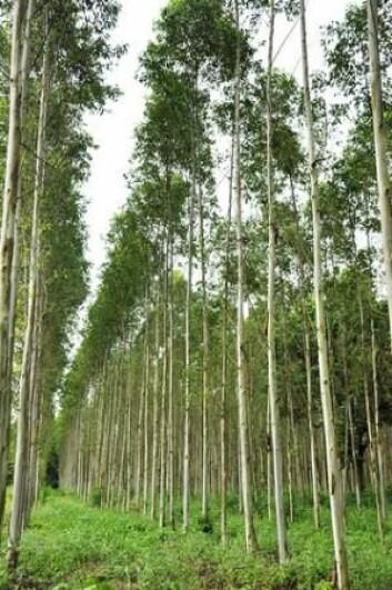 De høyeste trærne med «ekte» blader er eukalyptustrærne. De kan opp til 110 meter høye, med blader på mellom 10 og 30 centimeter. (Foto: Colourbox)