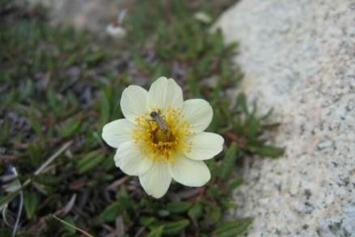 Et nytt dansk forskningsprosjekt avslører at antallet insekter i et område i det nordøstlige Grønland ble halvert på 14 år. (Foto: Toke Thomas Høye)
