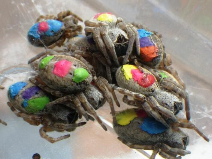 Edderkoppene ble merket med fargekoder i akrylmaling på ryggen. (Foto: Lena Grindsted)