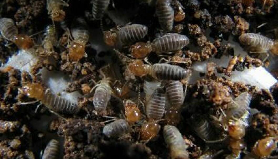Termittarten Ruptitermes lever i Sør-Amerika, og ifølge Šobotníks forskning kan arbeiderne fra denne arten eksplodere under et angrep fra fiender. Eksplosjonen kan kanskje eliminere fienden, men koster termitten livet. Jan Šobotník