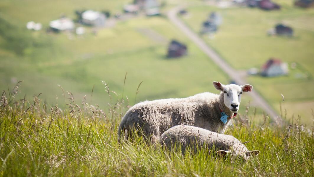 Matproduksjon må foregå der vi har ressurser. Gjennom husdyr kan vi utnytte ressurser også utenfor dyrka mark, samtidig som det bidrar til landskapspleie og levende bygder i utkantstrøk.