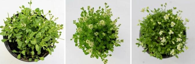 """Dette er plantene Siri Birkeland undersøkte. Fra venstre: høyfjellskarse (<span class=""""italic"""" data-lab-italic_desktop=""""italic"""">Cardamine bellidifolia</span>), polarskjørbuksurt(<span class=""""italic"""" data-lab-italic_desktop=""""italic"""">Cochlearia groenlandica</span>) og snørublom (<span class=""""italic"""" data-lab-italic_desktop=""""italic"""">Draba nivalis</span>)."""
