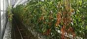 Et nytt virus truer norske tomater