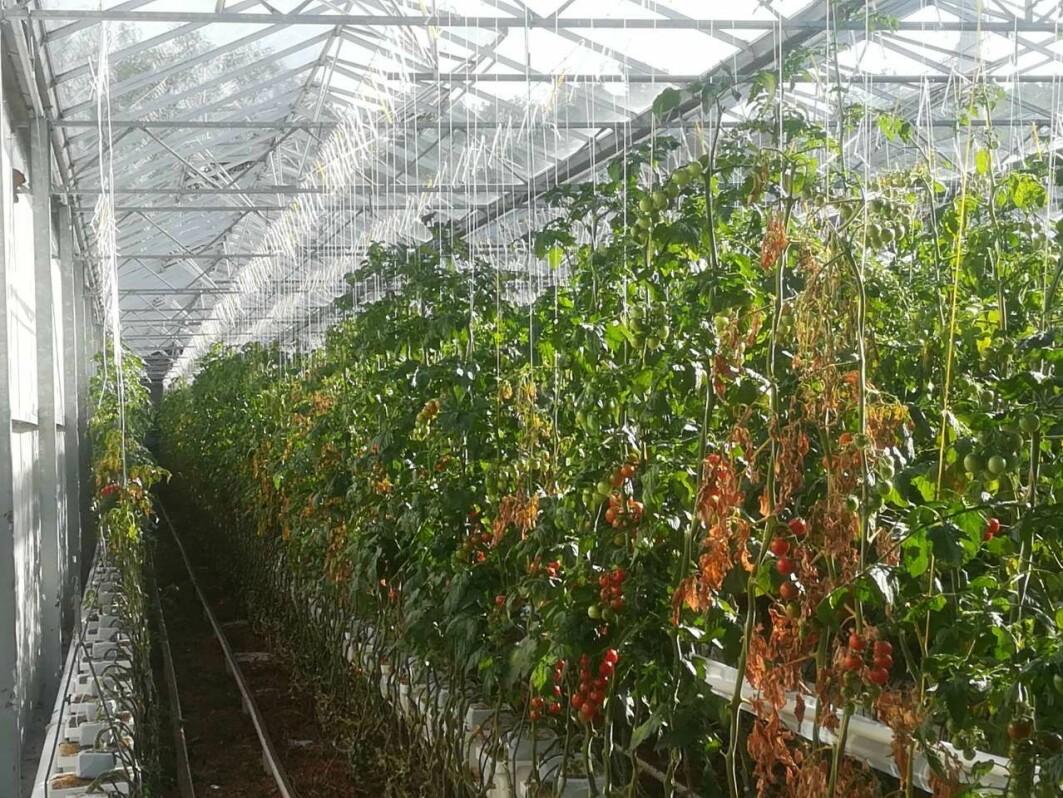 Planter med begynnende skade av tomatbrunflekkvirus.