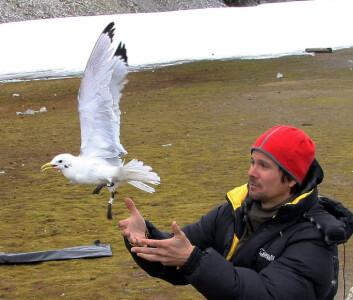 Fugleforsker Børge Moe slipper løs ei krykkje merket med lyslogger. (Foto: Framsenteret)