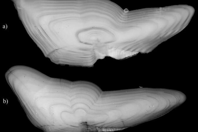En otolitt, eller ørestein som det også kalles, fra kysttorsk øverst og skrei nederst. Otolitter er er en del av balanseorganet i det indre øret hos alle virveldyr. Forskerne kan nå finne DNA fra disse.