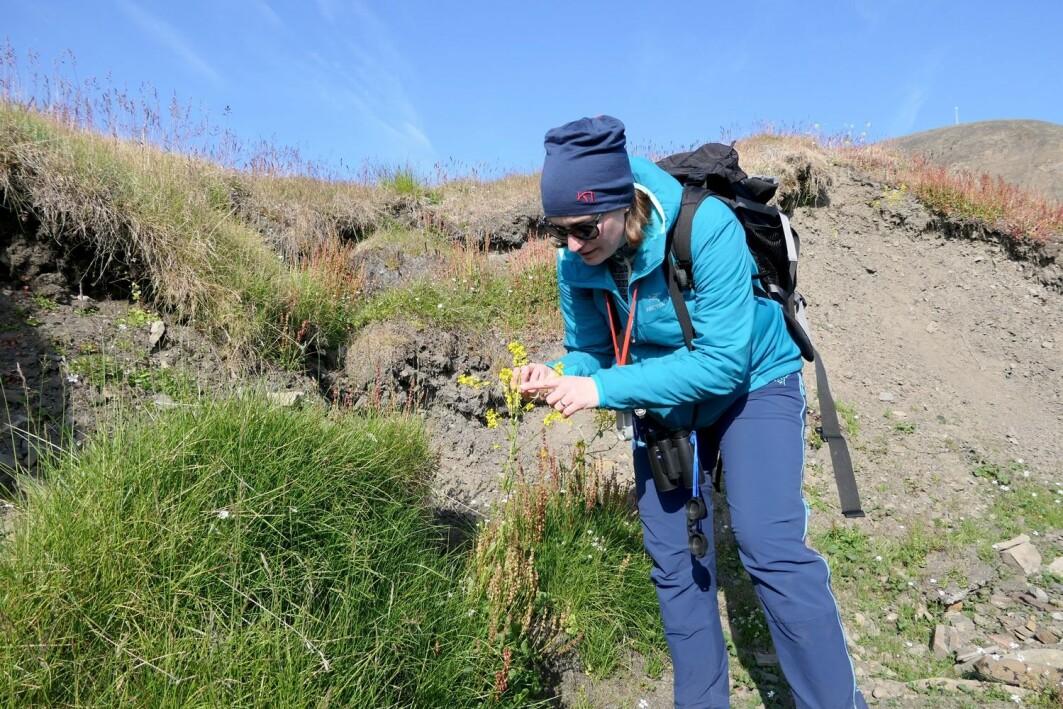 NINA researcher Kristine Bakke Westergaard is investigating the alien species of winter cress in Barentsburg.