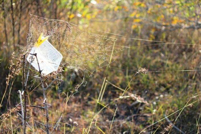 Først ble plastboksene hengt opp i busker, med lokket åpent, for å la edderkoppene få bygge fellenett med utgangspunkt i boksen. (Foto: Virginia Settepani)