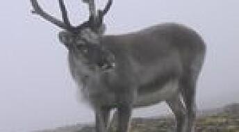 Herpes påvist hos reinsdyr