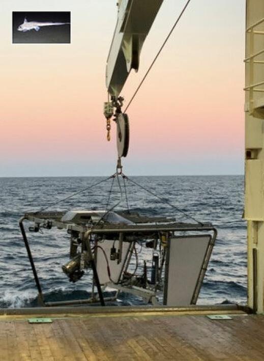 Videoriggen «Chimaera» er oppkalt etter havmus (latin: Chimaera monstrosa), innfelt øverst.