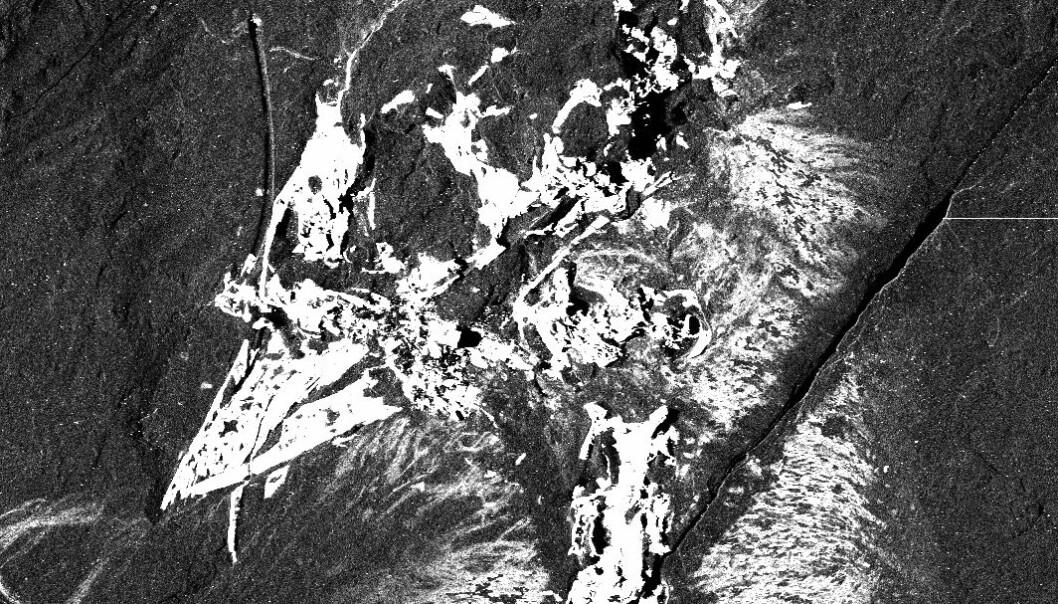 Confuciusornis sanctus sett med røntgenøyne. De hvite partiene viser konsentrasjoner av visse stoffer, i dette tilfellet kalsium. Stanford Synchrotron Radiation Laboratory; Gregory Stewart, SLAC National Accelerator Laboratory