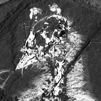Confuciusornis sanctus sett med røntgenøyne. De hvite partiene viser konsentrasjoner av visse stoffer, i dette tilfellet kalsium. (Foto: Stanford Synchrotron Radiation Laboratory; Gregory Stewart, SLAC National Accelerator Laboratory)