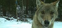 Er ulven farlig for mennesker?