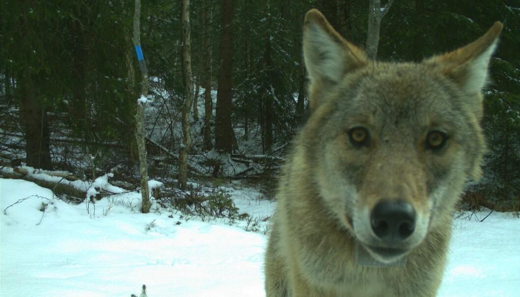 – I utgangspunktet har vi ingen grunn til å være redd ulv, men vi skal selvsagt ha stor respekt for den, sier forsker John Linnell.