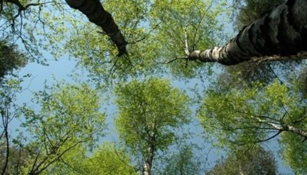 Trærne børster borti hverandres topper, og friksjonen gjør at man kan si at trærne klipper håret på hverandre. Her fra en bjørkeskog i Frogn. Lars Sandved Dalen