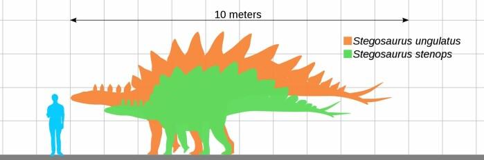 Her ser vi størrelsen til to stegosauruser sammenlignet med et menneske.