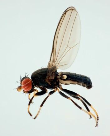 Almesevjefluen (Aulacigaster leucopeza) var ikke tidligere kjent fra Norge, men flere eksemplarer ble påvist på lokaliteter rett utenfor Oslo. (Foto: Karsten Sund/NHM)