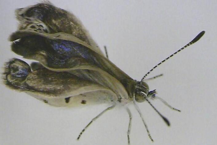 Her ser vi et eksemplar av japansk blåvingesommerfugl-arten som har skader på føtter, øyer og vinger. (Foto: JOJI OTAKI)