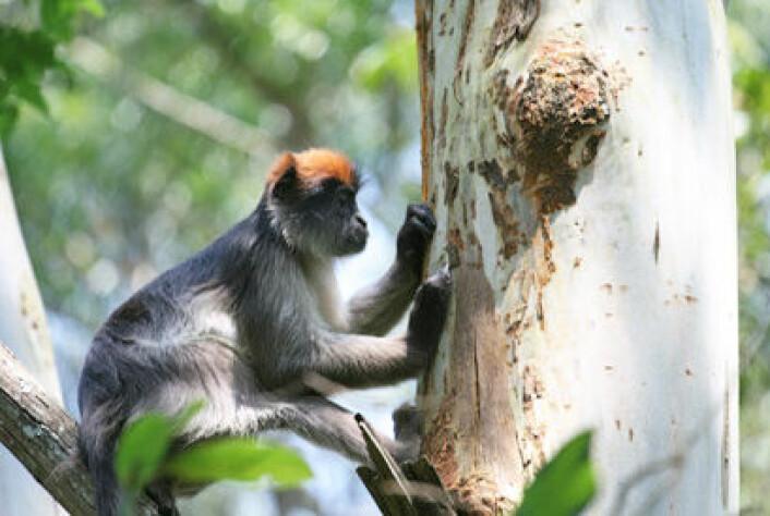 Aper endrer atferd med østrogenholdig kost. Dette bilder viser en av apene oppe i et eukalyptustre. (Foto: Julie Kearney Wasserman)