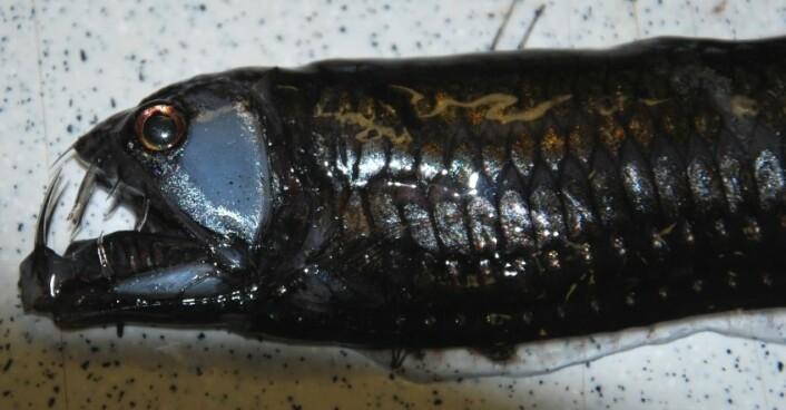 Det er kanskje ikke veldig vanskelig å skjønne hvorfor denne har fått navnet hoggormfisk. Streken som du så vidt kan se stikke opp av fiskens rygg er et lysorgan som brukes til å lokke til seg byttedyr i mørket. (Foto: Hanne Østli Jakobsen)