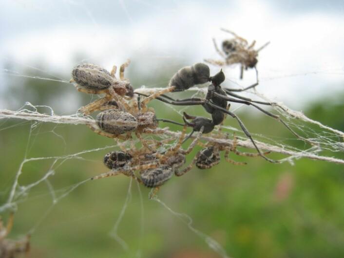 Edderkoppene angriper en inntrenger. (Foto: Virginia Settepani)