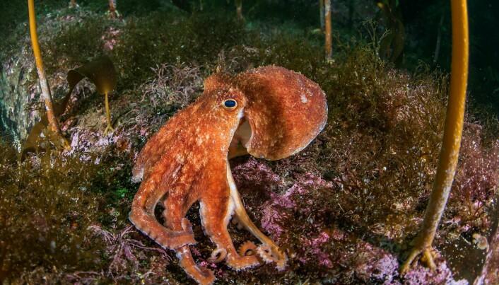 Kraken har etter hvert tatt form som en blekksprut. Men litt større og skumlere enn denne karen – en vanlig åttearmet blekksprut.