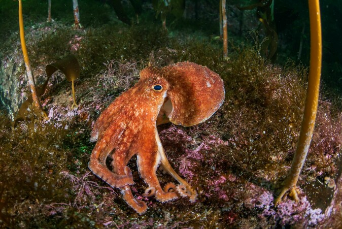 The Kraken has gradually taken the shape of an octopus. But a little bigger and scarier than this guy - a regular eight-armed octopus.