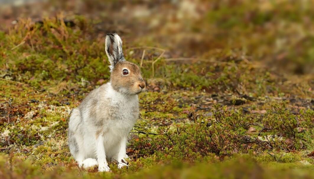 Dette er en hare. Den er nært i slekt med kaniner. Men hvorfor er ingen av dem særlig store?